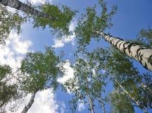 Baumkronen auf tiefem blauem Himmel Stockbild