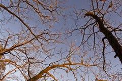 Baumkronen im Abendhimmel Lizenzfreies Stockbild
