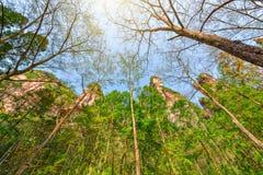 Baumkronen in Zhangjiajie Forest Park Lizenzfreie Stockfotos