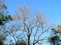 Baumniederlassungen ohne Blätter im Sommer Stockfoto