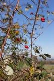 Baumniederlassungen und -beeren auf ihnen am Herbst November Lizenzfreie Stockfotografie