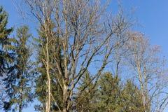 Baumniederlassungen und -beeren auf ihnen am Herbst November Stockfotografie