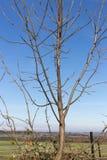 Baumniederlassungen und -beeren auf ihnen am Herbst November Stockfoto
