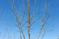 Baumniederlassungen und -beeren auf ihnen am Herbst November Lizenzfreies Stockfoto