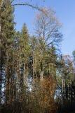 Baumniederlassungen und -beeren auf ihnen am Herbst November Lizenzfreie Stockbilder