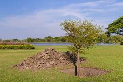 Baumpflanzen Stockfoto
