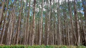 Baumplantage in Tasmanien, Australien stockfoto