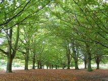 Baumreihe im königlichen Park Lizenzfreie Stockfotografie