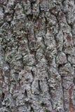 Baumrinde der alten und großen Eichenbeschaffenheit oder -hintergrundes Stockbild