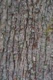Baumrinde der alten und großen Eichenbeschaffenheit oder -hintergrundes Lizenzfreies Stockfoto