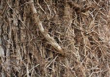 Baumrinde, die interessantes Klettern ist, verzweigt sich lizenzfreie stockbilder