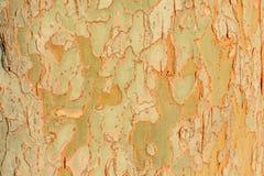 Baumrinde mit Beschaffenheit im goldenen Morgen-Licht Stockfotografie