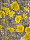 Baumrinde mit gelber Form auf seiner Oberfläche Stockbild