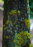 Baumrinde mit goldenem Moos Stockfotos