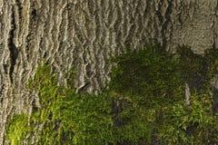 Baumrinde mit Moosdetail Stockfoto