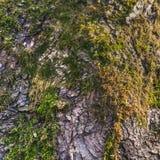 Baumrinde mit Sprüngen und grünem Moos lizenzfreies stockfoto