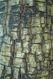 Baumrindebeschaffenheit mit Flechte als dem Hintergrund Lizenzfreie Stockfotografie
