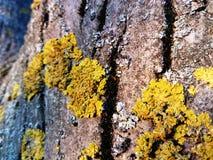 Baumrindebeschaffenheit mit gelbem Moos stockfoto