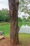 Baumrindedetail am Aclimacao-Park in Sao Paulo Lizenzfreies Stockbild