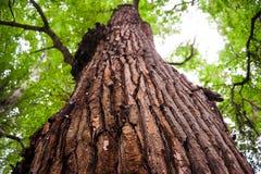 Baumrindenahaufnahme, Baumkrone auf Hintergrund Alte hölzerne Baumrindebeschaffenheit Ansicht von unten Stockfotos