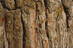 Baumrindenahaufnahmebeschaffenheit Lizenzfreie Stockbilder