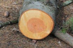 Baumringe auf dem Baum, wie einer Baumchronik lizenzfreies stockfoto