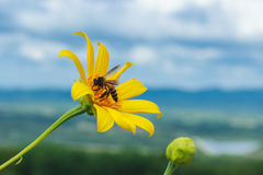 Baumringelblume, mexikanisches tournesol, mexikanische Sonnenblume Stockfotos