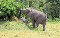 Baumsammeln des afrikanischen Elefanten lizenzfreies stockfoto