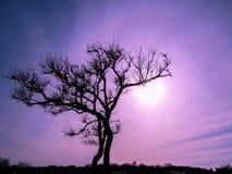 Baumschattenbild gegen purpurroten Himmel lizenzfreies stockfoto