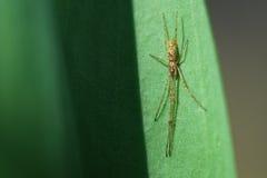 BaumschulenWeb spider (Pisaura Mirabilis) Lizenzfreies Stockfoto