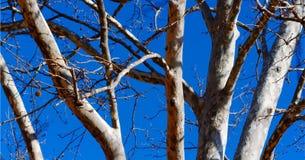 Baumstämme gegen blauen Frühlingshimmel Stockbild