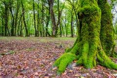 Baumstämme im grünen moosigen Wald Lizenzfreie Stockbilder
