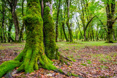 Baumstämme im grünen moosigen Wald Lizenzfreie Stockfotografie