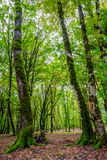 Baumstämme im grünen moosigen Wald Stockfoto