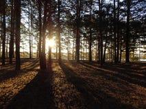 Baumstämme im Wald belichtet durch die Strahlen der untergehenden Sonne lizenzfreie stockfotos
