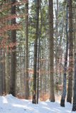 Baumstämme im Winterkiefernwald Stockfotografie