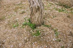 Baumstamm auf braunem Boden, mit den gefallenen Pflaumenblütenblumenblättern stockfoto