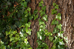 Baumstamm bedeckt durch Efeu Stockbild