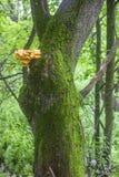 Baumstamm bedeckt mit Moos und mit Schwefel-gelbem Pilz Stockbilder