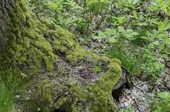 Baumstamm der Eiche oder der Eiche nah oben mit dem Mooswachsen Lizenzfreie Stockfotos