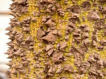 Baumstamm eines Kapokbaums punktiert mit starken Spitzen nachdem dem Blühen lizenzfreies stockbild