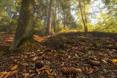 Baumstamm im Wald und in den gefallenen Kegeln Stockbilder