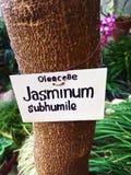 Baumstamm-Jasmin subhumile oleaseae mit einem Zeichen Lizenzfreie Stockbilder
