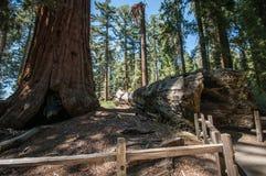 Baumstamm-Mammutbaum Stockfoto