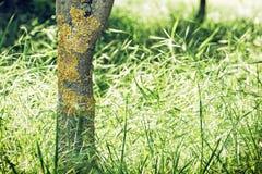 Baumstamm mit gelben Flechten und Feld des Kornes Lizenzfreie Stockfotos