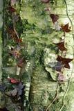 Baumstamm mit Schalenbarke und -efeu Stockfotografie