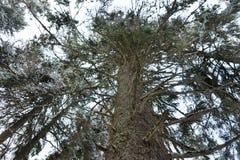 Baumstamm mit vielen Niederlassungen im Wald im Winterzeitraum Lizenzfreie Stockfotografie