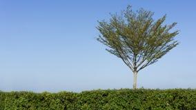 Baumstand allein hinter Sträuchen. Lizenzfreie Stockfotografie