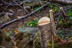 Baumstummel in einem Wald, der geklärt worden ist stockbild
