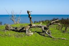 Baumstumpf auf der Küste Stockfotografie